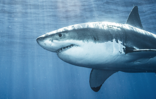 Importance Of Sharks | Georgina Monti