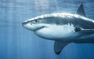 Importance Of Sharks | Georgina Monti